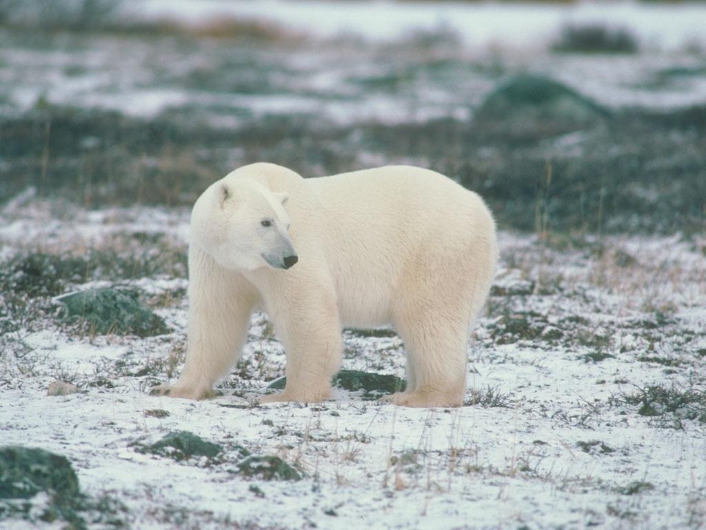 видео для детей про белых медведей