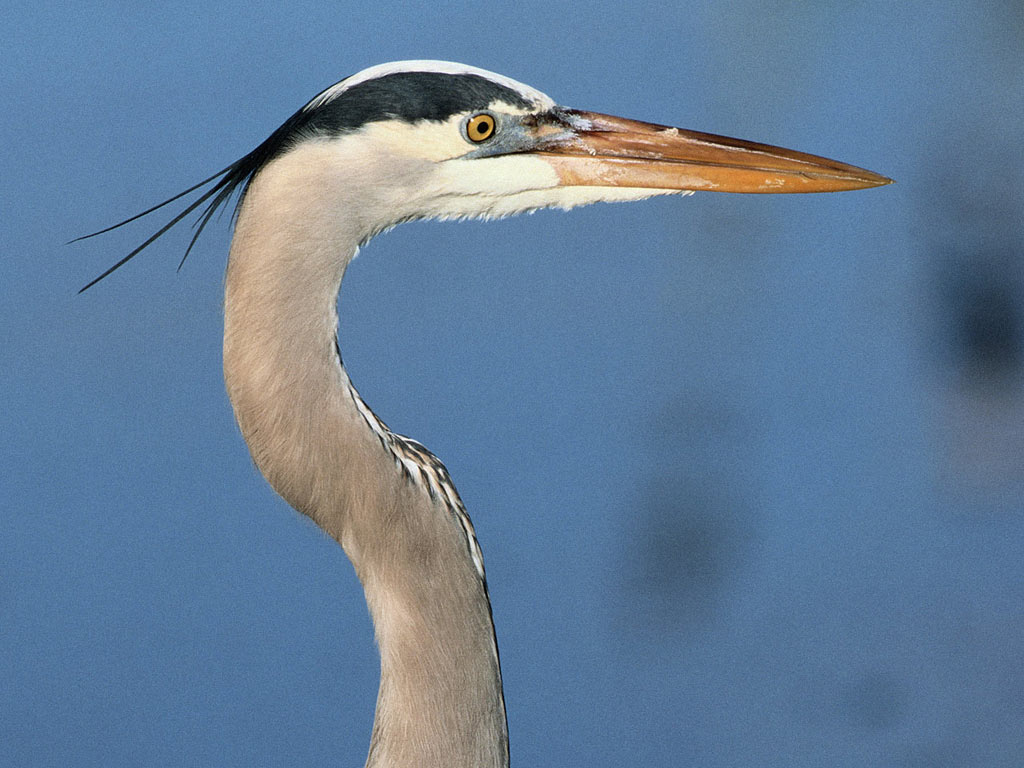 the great blue heron 2 essay