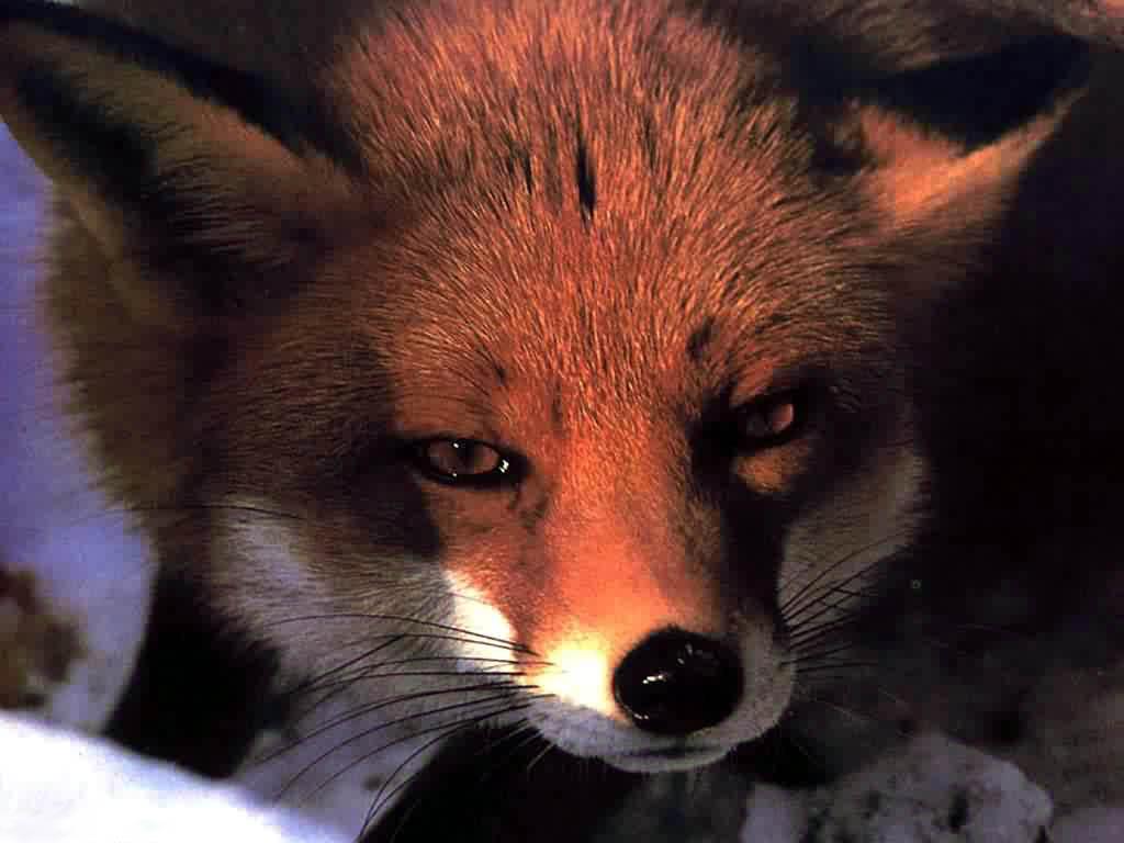 Прикольные лисы картинки 10 фотография