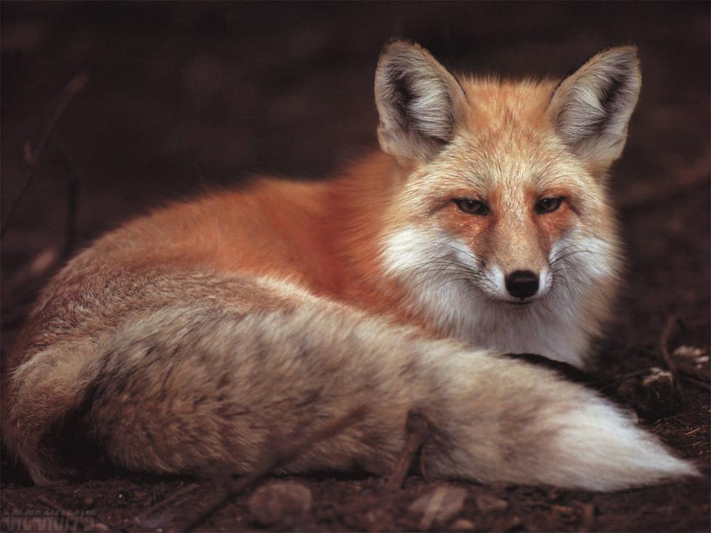 Прикольные лисы картинки 22 фотография