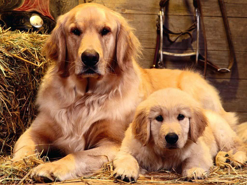 обои для рабочего собаки: