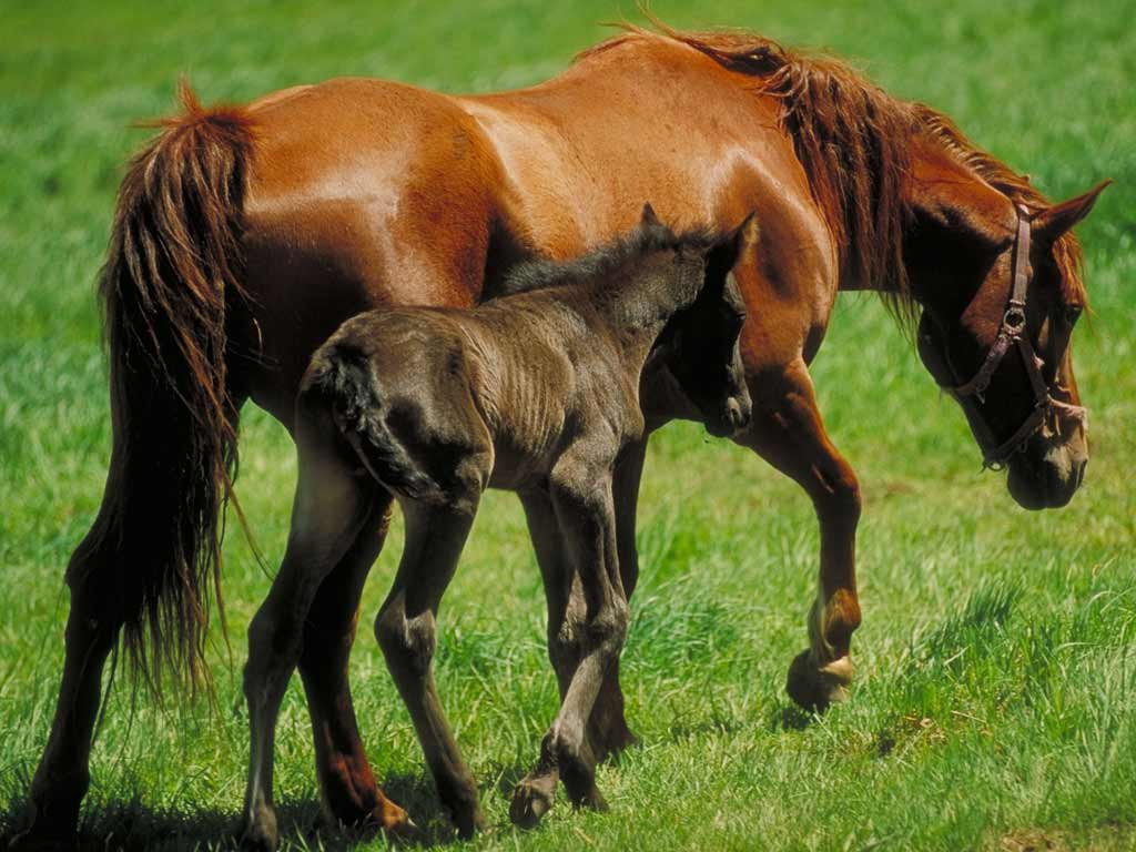 обои рабочего стола - лошади