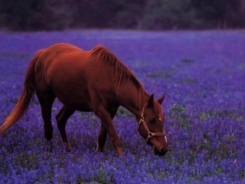 обои рабочего стола лошади