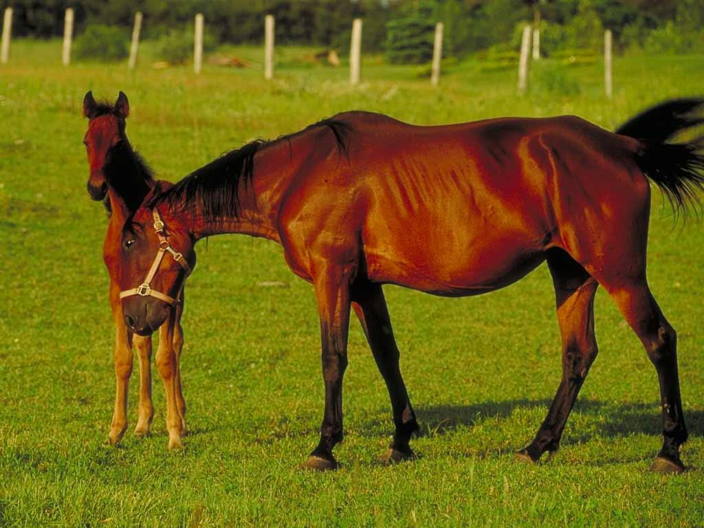 обои лошади