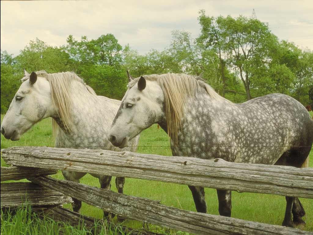 обои с лошадьми