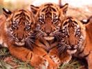 Обои для рабочего стола: фото диких кошек тигр, леопард, ягуар, лев, рысь, гепард