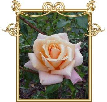 поздравительная валентинка с розами