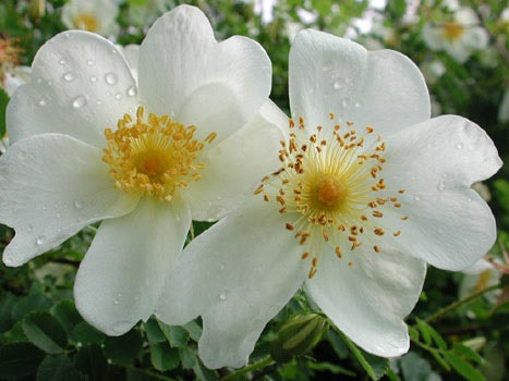 поздравительная открытка с днем святого валентина - цветы